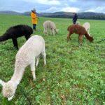 Alpaka-Wanderung Zollernalb